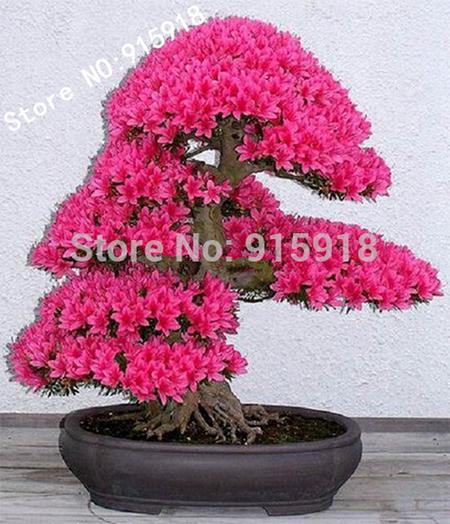 Дерево бонсай японская сакура
